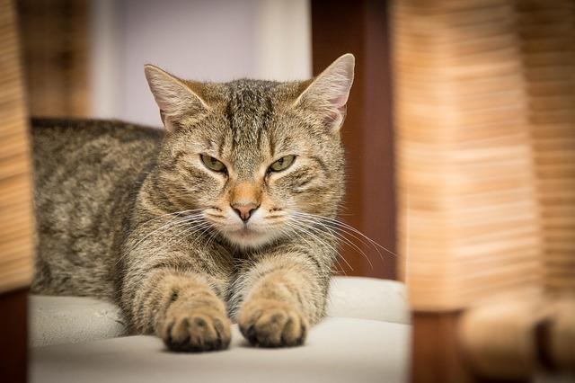 domácí mourovatá kočka
