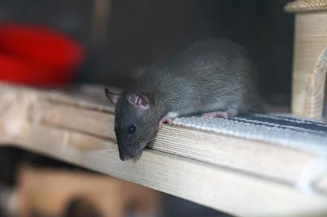 šedý potkan