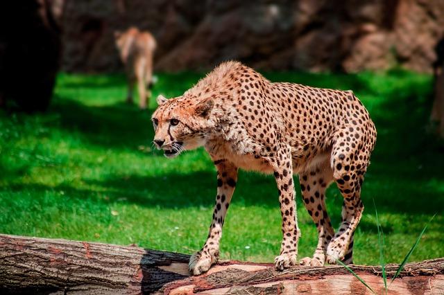 levhart v zoo