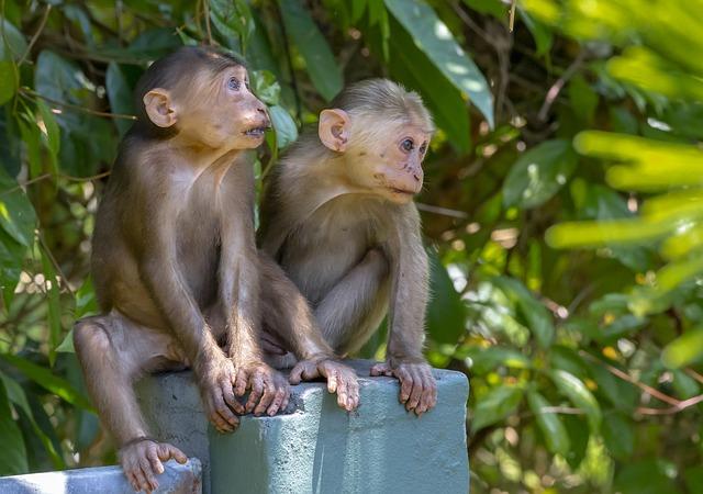 makak s pahýlovitým ocasem