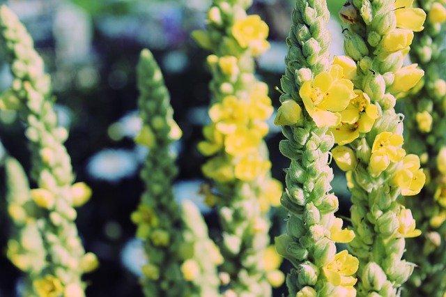 rostliny divizny