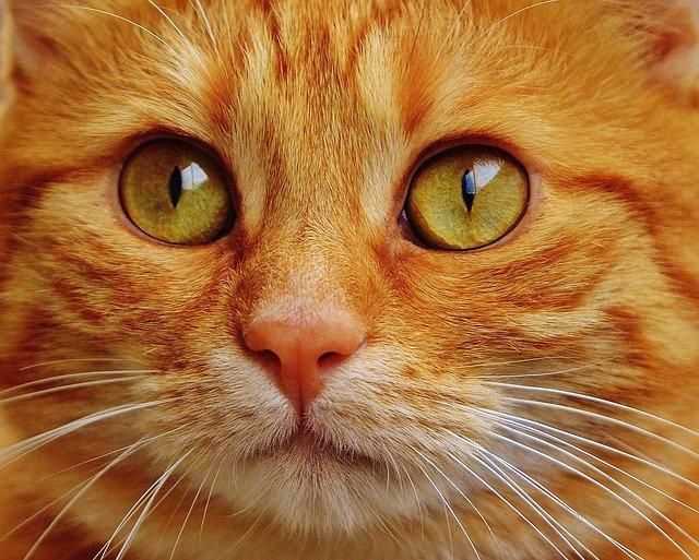 hlava zrzavé kočky.jpg
